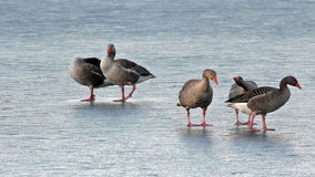 Greylag geese walking in frozen pond. Royalty Free Stock Images
