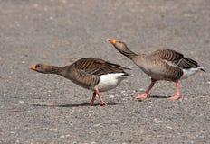 Greylag Geese walking the walk Stock Image