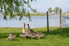 Greylag Geese with young on the beach - Austria Royalty Free Stock Photography