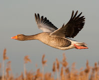 Greylag goose. Flying over some rushes Stock Photo