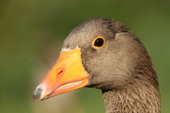 Greylag goose royalty free stock photography
