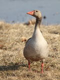 Greylag goose. Portrait of graylag or greylag goose with water in background Stock Photography