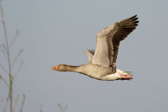 Greylag goose Stock Photos