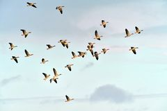 Greylag goose. A swarm greylag geese in flight Stock Photos