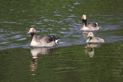 Greylag goose Royalty Free Stock Photography