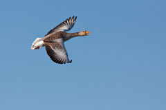 Greylag Goose. In flight against the bleu sky Stock Photography