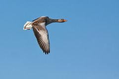Greylag Goose. In flight against the blue sky Stock Image