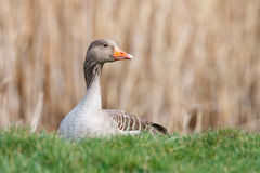 Greylag goose. A greeylag goose sitting in the grass Royalty Free Stock Images