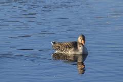 Greylag goose Royalty Free Stock Photos