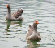 Greylag goose Stock Photography