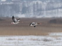 Greylag-goose Stock Photo