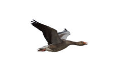 Free Greylag Goose Royalty Free Stock Photos - 31453588