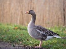 Free Greylag Goose Stock Image - 38490561