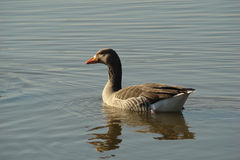 Greylag goose. In a lake,Marquenterre,France Stock Image