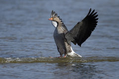 Greylag goose, Anser anse Stock Images