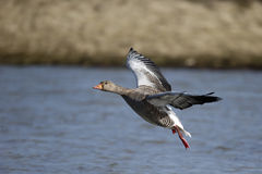Greylag goose, Anser anse Stock Photo