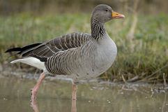 Greylag Goose - Anser anser Stock Photo