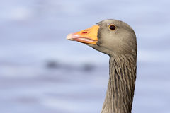 A Greylag Goose (Anser anser) Royalty Free Stock Photo