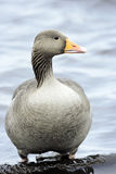 Greylag Goose. (Anser anser ) Stock Photos