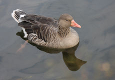 Greylag Goose. Royalty Free Stock Photography