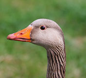 Greylag Goose (Anser anser) Stock Photos