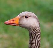Greylag Goose (Anser anser) Stock Photos