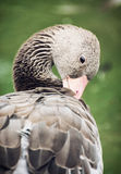 Greylag goose (Anser anser) Royalty Free Stock Photos