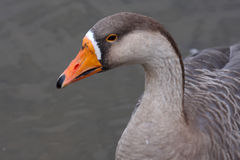 Greylag Goose (Anser anser anser). The Greylag Goose, Anser anser, is a bird with a wide range in the Old World. It is the type species of the genus Anser Royalty Free Stock Images