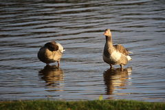 Greylag goose (Anser anser) couple standing in water Royalty Free Stock Photography