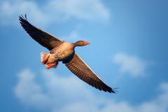 Greylag Goose Anser anser in flight. Blue sky. Stock Photography