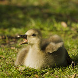 Greylag Goose (Anser anser) gosling calls mother. A recently hatched greylag goose gosling calls out for its mother at a park in England stock photos