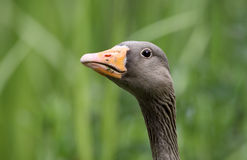 Greylag goose, Anser anser Stock Photos