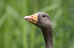 Greylag goose, Anser anser Stock Photos