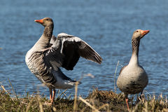 Greylag Goose 3. Greylag Goose (Anser anser) in a Lake in Southern Sweden Stock Photo
