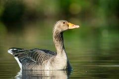 Greylag goose, Anser anser Royalty Free Stock Images