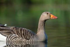 Greylag goose, Anser anser Stock Images