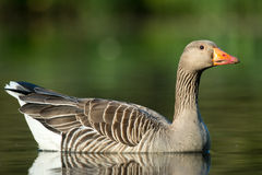 Greylag goose, Anser anser. On lake in West Sussex, UK, landscape format Stock Photo