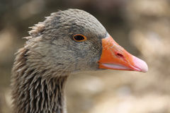 Greylag Goose (Anser Anser) Portrait Royalty Free Stock Photography
