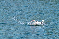Greylag goose anser anser preening and washing feathers on a lake with webbed foot in the air in spring royalty free stock photo