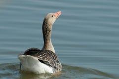 Greylag goose (Anser anser) Stock Image