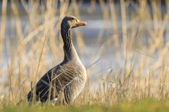 Greylag goose, Anser anser, resting in a meadow durng Springtime Stock Photography