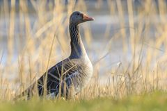 Greylag goose, Anser anser, resting in a meadow durng Springtime Stock Photos