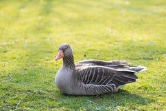 Greylag goose, Anser anser Stock Image