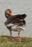 Greylag Goose - Anser anser Stock Photography