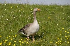 Greylag goose, Anser anser, Stock Photo