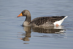 Greylag goose, Anser anser stock photo