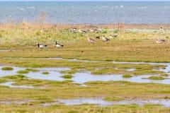 Greylag goose (Anser anser) Stock Photography