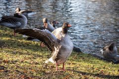 The greylag goose, Anser anser is a species of large goose stock images