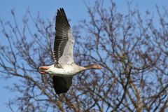 The greylag goose, Anser anser is a species of large goose royalty free stock photography