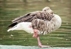 Greylag goose (Anser anser) standing on one leg and sleeping Stock Image
